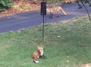Fox in the morning!