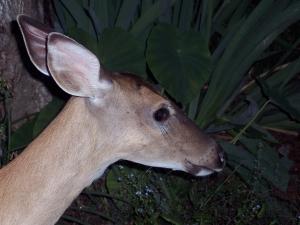 A descendent of Bambi?