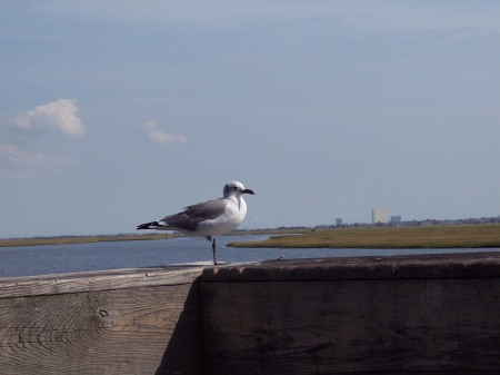 A sea gull patiently waiting