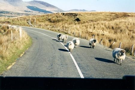 Free Range Organic Sheep